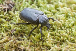 IUCN Red List and EU Habitats Directive insect specie Hermit beetle Osmoderma eremita (sin. O.barnabita) on moss. This black beetle is dweller of old hollow trees in park type landscapes.