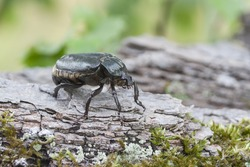 IUCN Red List and EU Habitats Directive insect specie Hermit beetle Osmoderma eremita (sin. O.barnabita) on oak bark. This black beetle is dweller of old hollow trees in park type landscapes.