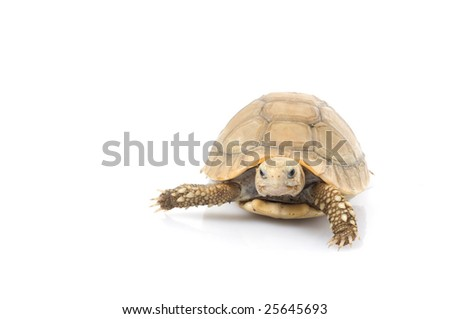 Ivory African Spurred Tortoise (Geochelone sulcata) facing front - stock photo