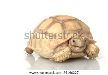 Ivory African Spurred Tortoise (Geochelone sulcata) isolated on white background.