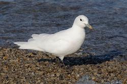 Ivory Gull (Pagophila eburnea) - Spitsbergen Island, Svalbard