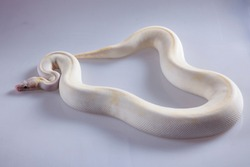 ivory pastel morph ballpython snake on white background