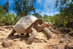 Ivory Turtle. The Galapagos tortoise. The Galapagos Islands. Ecuador.