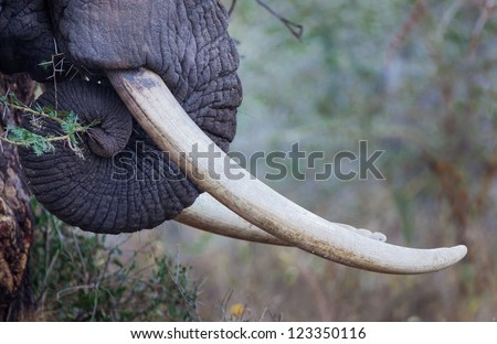 Ivory tusks in much demand by poachers in Africa