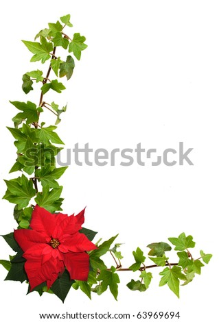 ivy and poinsettia isolated on the white background
