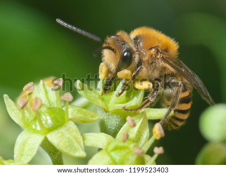 Ivy bee (Colletes hederae) on ivy flowers (Hedera helix), feeding on nectar