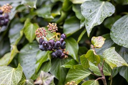 Ivy blossom with berries plant background