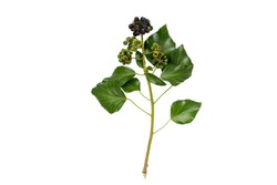 Ivy branch with leaves and berries isolated on white. Hedera helix plant.