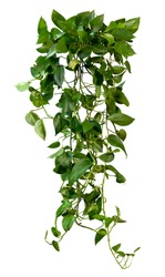 Ivy. Climbing plant isolated on white background. Vine plant in summer