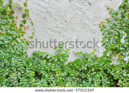 Ivy climbing up the wall.
