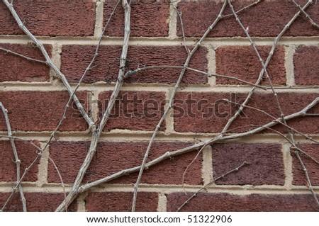 Ivy creeping along Brick Wall