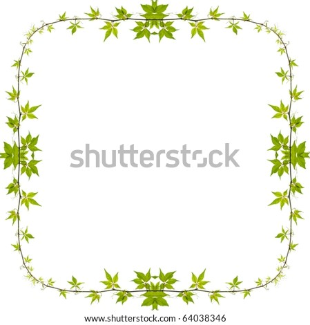 ivy frame isolated (virginia creeper)