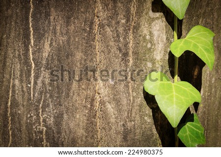 Ivy green leaves on a hardwood tree ecology background