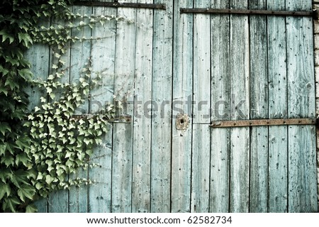 ivy growing on old weathered barn doors in provence france