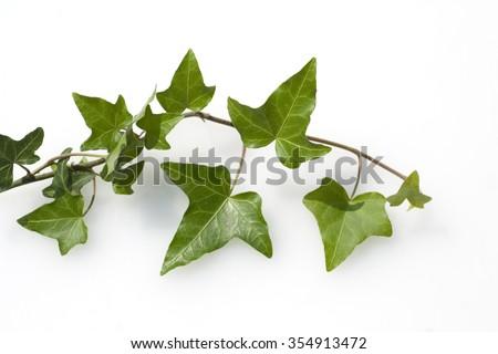 Ivy; Hedera, helix