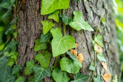 Ivy, Hedera helix or European ivy climbing on rough bark of a tree. Close up photo.
