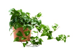 ivy in pot isolated