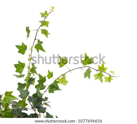 ivy isolated on a white background. #1077696656