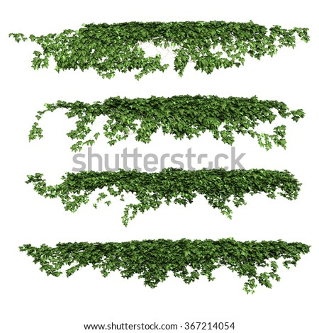 ivy. ivy leaves isolated on a white background.