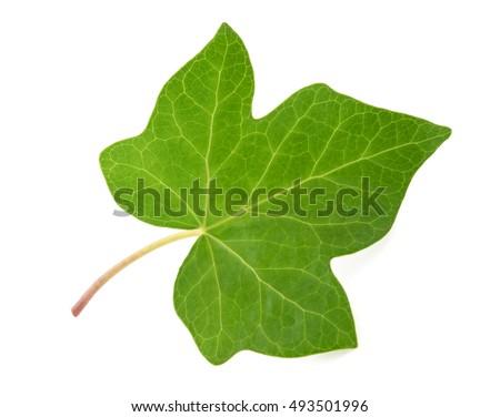 Ivy leaf isolated  on white background #493501996