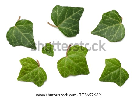 ivy leaves isolated on a white background. top view #773657689