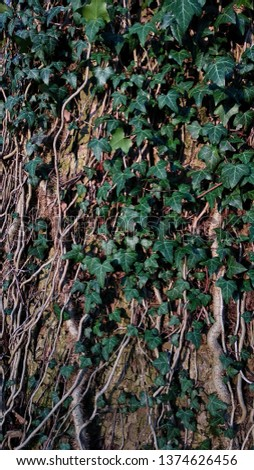 Ivy on a tree, ivy wrapped around a tree, ivy texture or ivy background #1374626456
