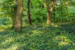 Ivy on the ground and trees in the Hluboka castle park.