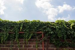 ivy on the red brick wall. Background sky has white cloud.