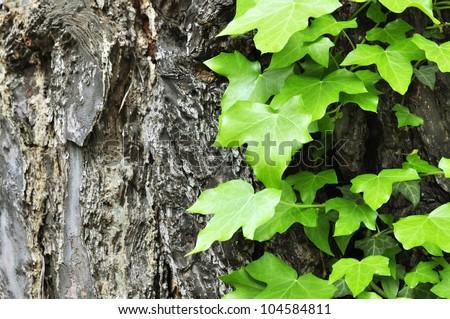 Ivy on tree bark