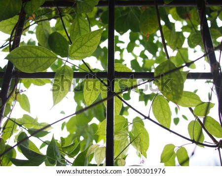 Ivy plant on square windows #1080301976