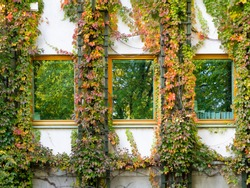 Ivy surrounding the windows of the building. Autumn, colorful, green, yellow and red leaves of ivy climbing up the wall around the windows.
