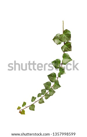 Ivy twig isolated on white background. Hedera helix, common ivy, English ivy, European ivy,     #1357998599