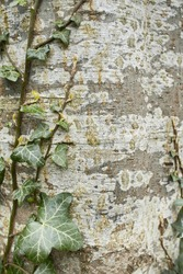 Ivy vines climbing tree trunk on green background.