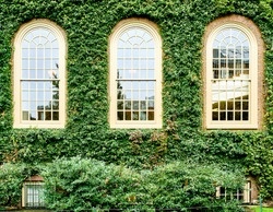 Ivy wall in Harvard at Cambridge, Massachusetts, USA.