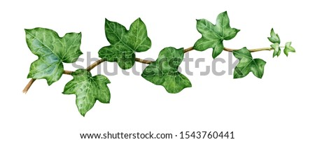 Ivy watercolor illustration. Green lush hedera helix close up image. Fresh botanical green stem with leaves and buds. Garden evergreen plant solated on white background. Foto stock ©