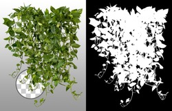 Ivy with lush green foliage. Climbing plant in summer isolated on transparent background via an alpha channel of great precision. Tropical vegetation. High quality mask for professional composition.
