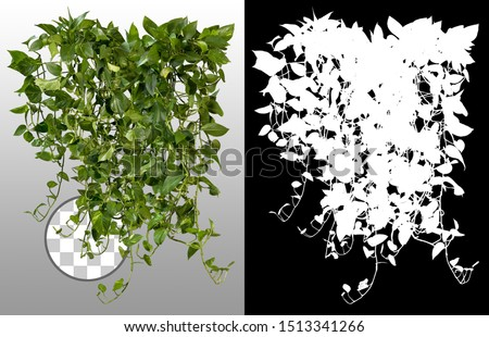 Ivy with lush green foliage. Climbing plant in summer isolated on transparent background via an alpha channel of great precision. Tropical vegetation. High quality mask for professional composition.  #1513341266