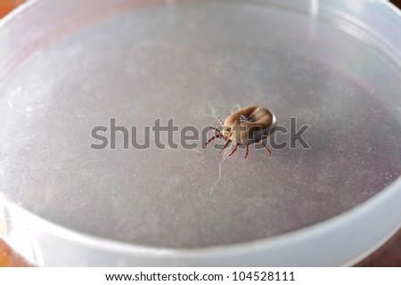 Ixodes ricinus. Dog ticks (female) recovered from the dog's coat. Veterinary laboratory. - stock photo