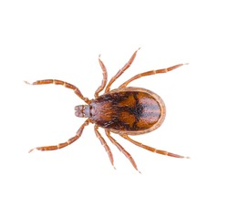 Ixodes ricinus, the castor bean tick, is a chiefly European species of hard-bodied tick, isolated on white background. Dorsal view of close up isolated ixodes tick.