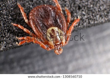Ixodid tick (Dermacentor sp.) (female) #1308560710