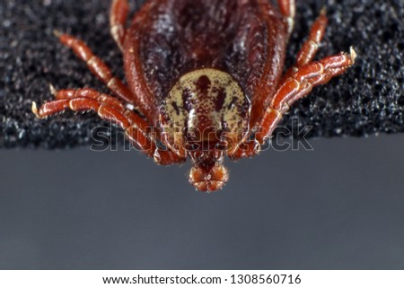 Ixodid tick (Dermacentor sp.) (female) #1308560716