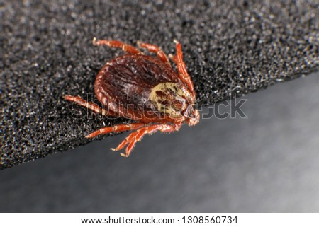 Ixodid tick (Dermacentor sp.) (female) #1308560734