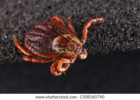 Ixodid tick (Dermacentor sp.) (female) #1308560740