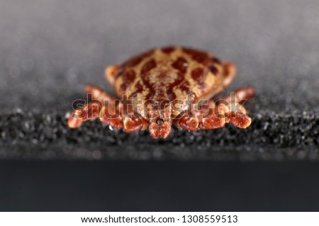 Ixodid tick (Dermacentor sp.) (male) #1308559513