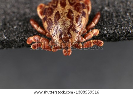 Ixodid tick (Dermacentor sp.) (male) #1308559516