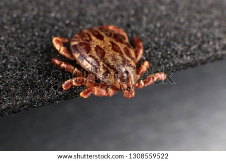 Ixodid tick (Dermacentor sp.) (male) #1308559522