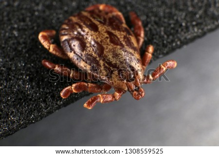 Ixodid tick (Dermacentor sp.) (male) #1308559525