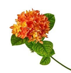 Ixora coccinea flower, Orange ixora with leaves isolated on white background, with clipping path