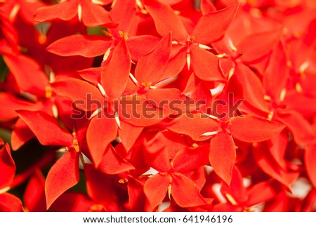 Ixora little red flowers, Maharashtra, India, Southeast, Asia #641946196