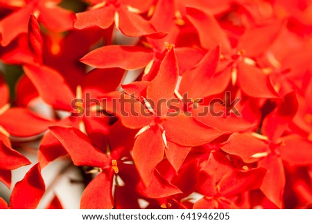 Ixora little red flowers, Maharashtra, India, Southeast, Asia #641946205